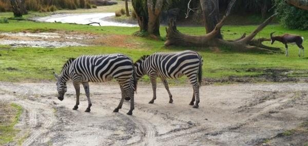 Disney's Animal Kingdom theme park, zebras grazing on the Kilimanjaro safari tour