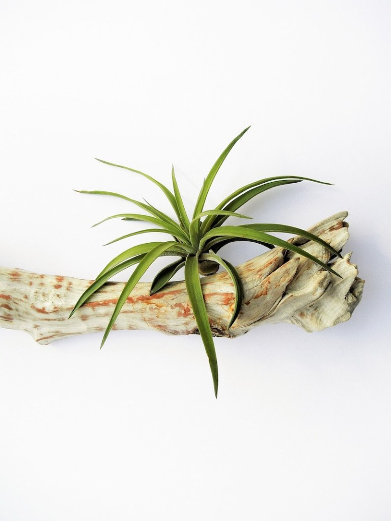 Tillandsia air plant on drift wood