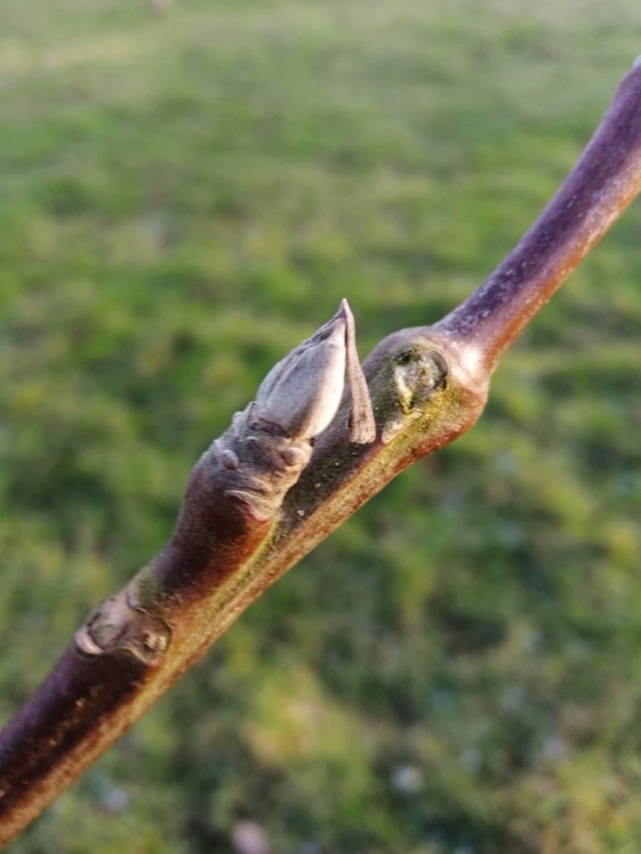 Walnut tree buds