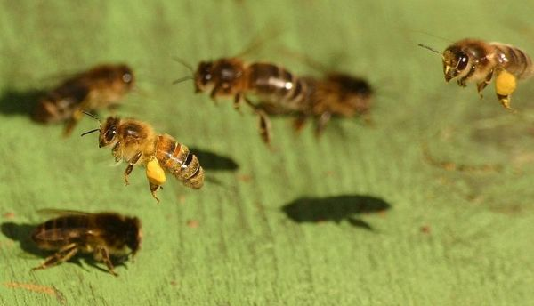 Although winter and summer honey bees look the same, winter bees have many more fat bodies.
