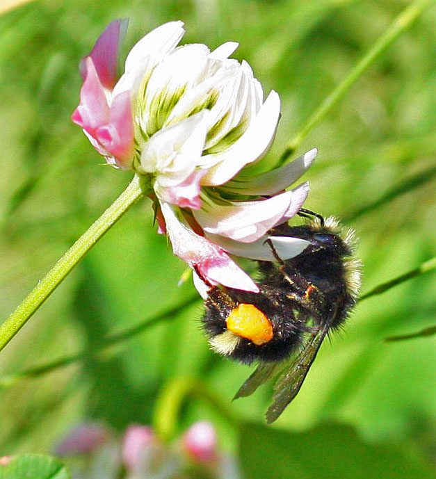Bumble bees hibernate, honey bees do not - Honey Bee Suite