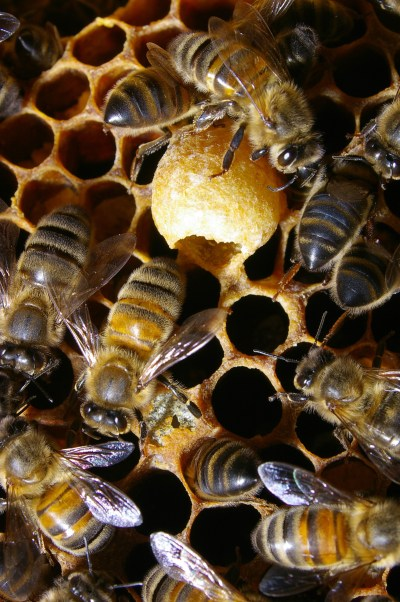 A queen cup built on the surface of a brood comb.  Sometimes the bees use these and sometimes they don't. Often, the bees build them and then take them down again. Flickr photo by Max xx.