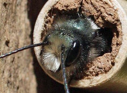The ocelli are the three tiny dots atop this mason bee's head.