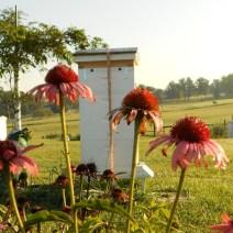 Coneflowers da Herb Lester apiari, Tennessee.