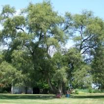 Le api di Sarah sono fortunati a vivere sotto un albero del genere fantastico.