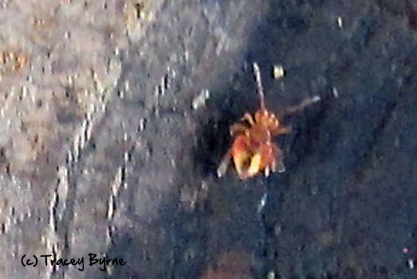 Globular springtail. Courtesy of Tracey Byrne.