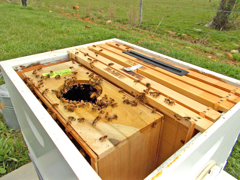 The new package of Russian hybrids is gently placed in the hive.