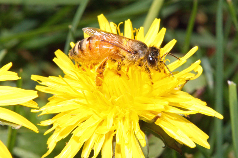 Bee on a dandelion, just hanging out.