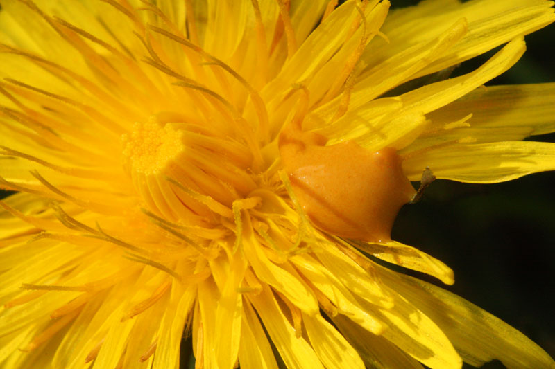 Bee poop on flowers: a sticky mess for an unsuspecting forager.