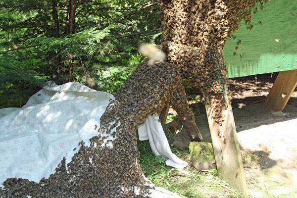 Bees-accumulating-in-two-bunches
