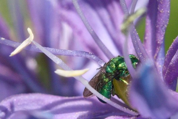Green-metallic-sweat-bee-2