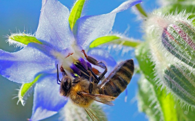 A late summer forager on borage