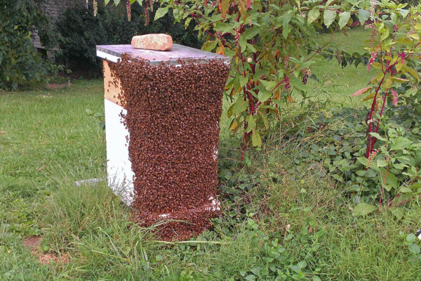 Are the bees on this hive bearding or swarming?