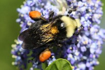 Bumble bees have a blocky build.