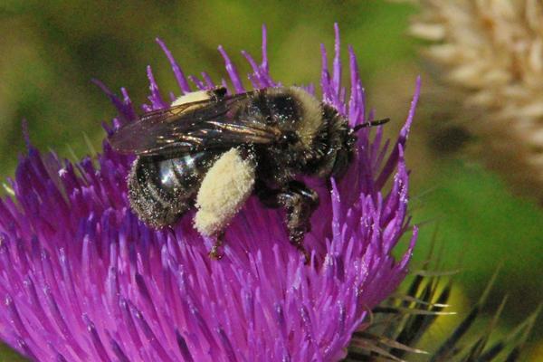 Fluffy-pollen-in-scopa