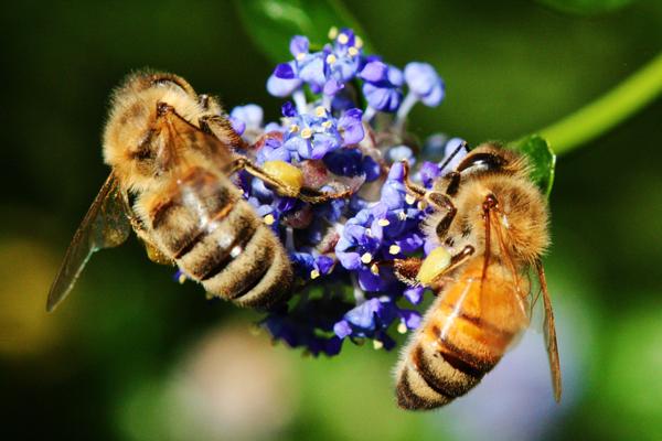 Honey-bee-abdomens