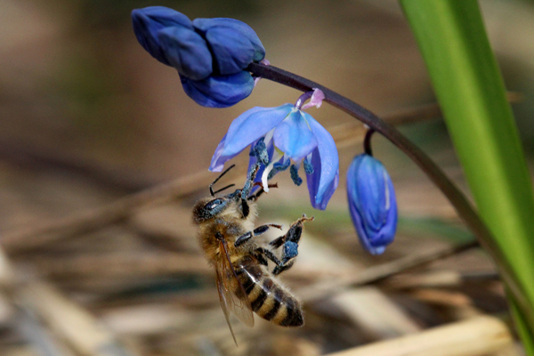 Honey-bee-on-siberian-squill