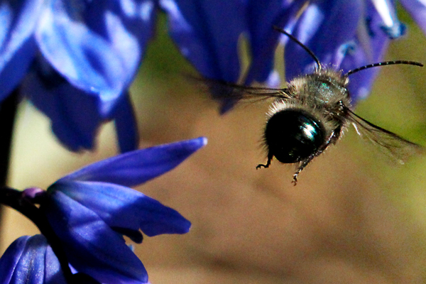 Male-mason-bee-on-the-wing