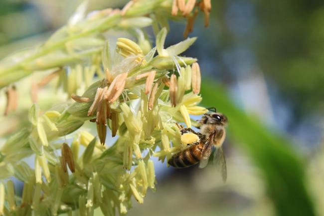 Bee on corn tassel