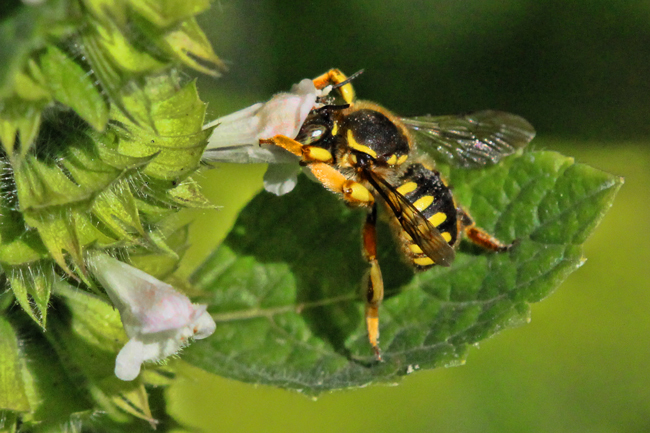 Wool carder bee examining a lemon balm flower. © Rusty Burlew.