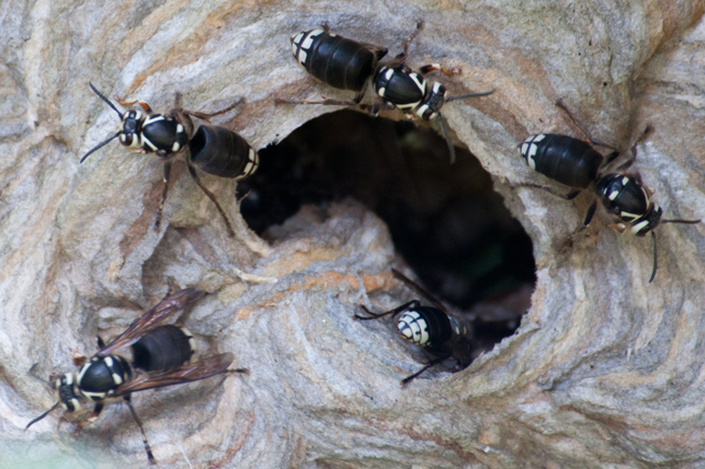 Bald-faced hornets at nest entrance. Wikimedia Commons photo.