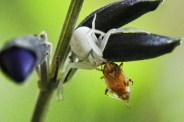 Crab spiders are not too picky about lunch.