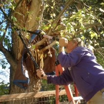 On October 16, Rob Deez carefully pruned the tree limbs and removed two loose chunks of wood that dangled over the colony. The tree had been topped by a storm and was not in good shape. The tarp was left in place to protect the colony from falling debris. © Naomi Price.