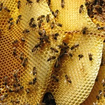 The colony remained docile during the entire process. Everyone worked slowly around the bees and backed away after each step to give the bees some space. © Shannon Taylor.