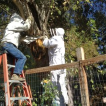 Protecting the bees from sawdust while the last branch is removed. © Naomi Price.