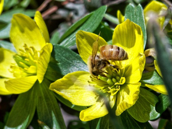 Honey bee on winter aconite.