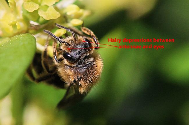 Andrena-hairy-facial-depressions