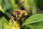 Honey-bee-on-boxwood