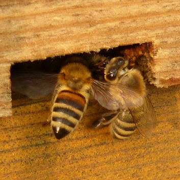 Two-bees-going-home