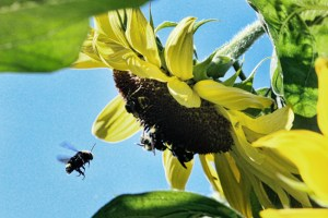 Many-bees-on-Lemon-Queen-©-Rusty-Burlew.