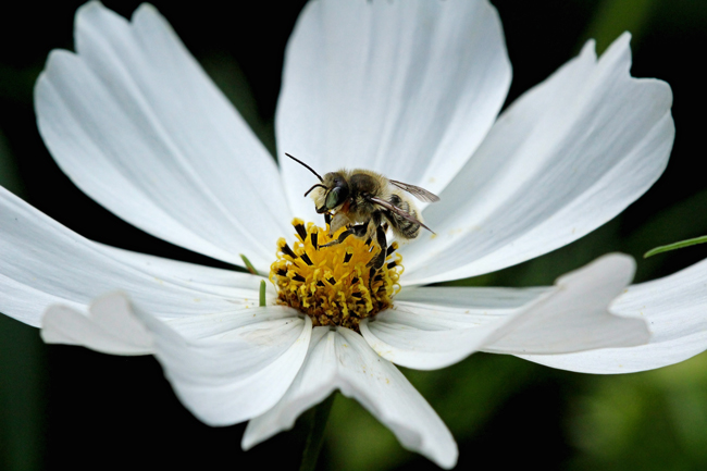 Leafcutter-he-bee
