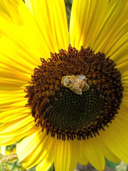 Sunflowers-2-Bryan-Bender