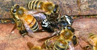 Honey bees kill a hornet.