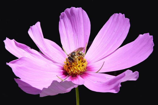 Bees-love-cosmos