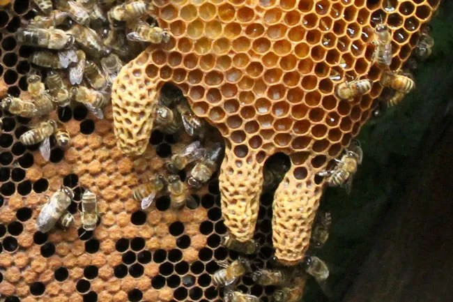 No doubt about it, these are swarm cells. First the bees built an extra comb between two larger combs. Then they proceeded to build swarm cells along the bottom of the new comb. They look exactly like peanut shells.