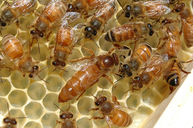 Expect a newly-emerged queen to begin laying eggs within two or three weeks.