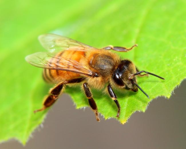 Bee-on-squash-leaf