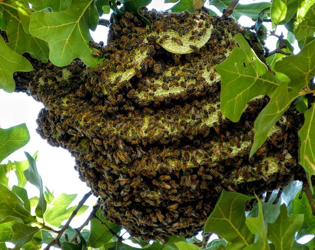 Lorieann-bee-colony-close-640