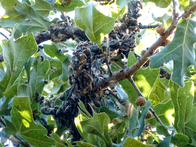 bees-on-limb-7-24-16b