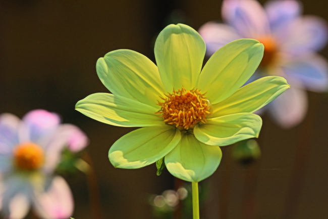 Dahlia with central disk.