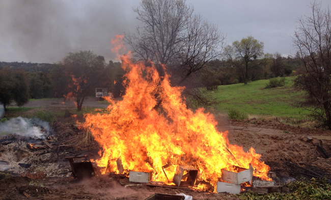 burning bee hives