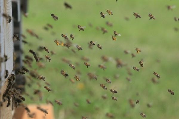 Haunted by losses. Honey bees at hive entrance.