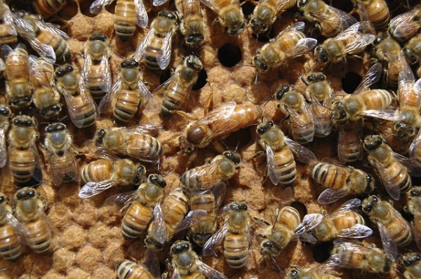 Demise of colony collapse disorder. Weak queens may be the real problem.