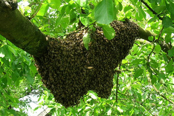 A swarm capture can be difficult, even for experienced beekeepers.