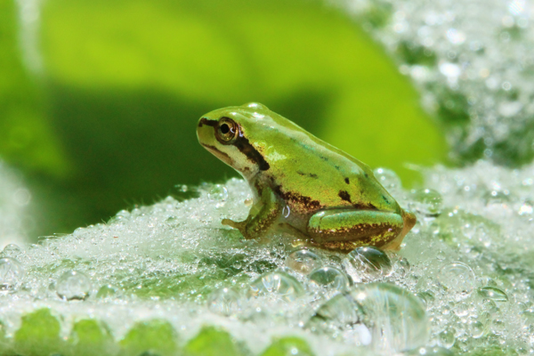 Frog on wet lamb's ear leaf.