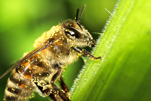 Honey bee in squash blossom.